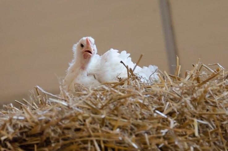 Bien-être animal : un enjeu fondamental pour le futur des élevages de volailles